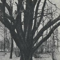 E. Veidenbauma mātes ozols